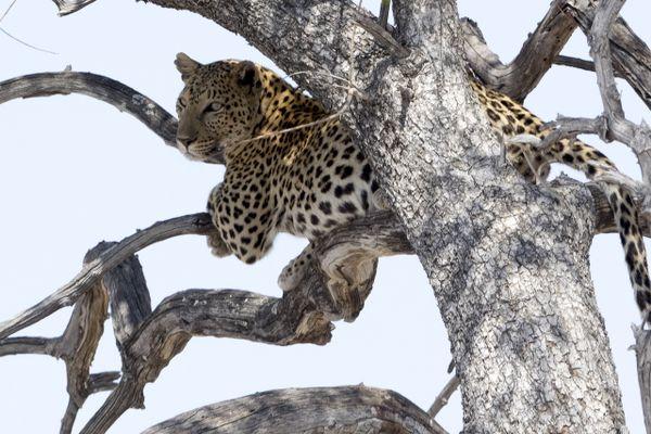 leopard-2903639_1920